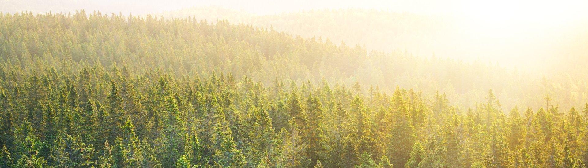 Wald Pinie